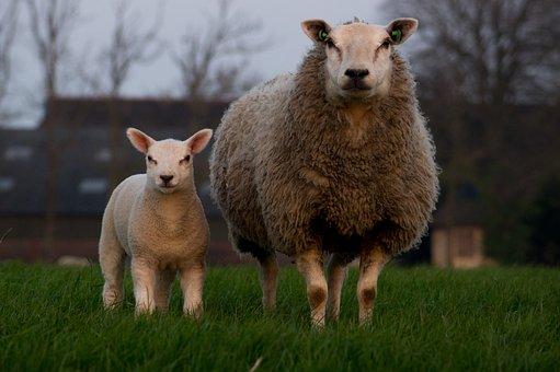 Sheep, Lamb, Family, Mother Sheep, Farm, Animal