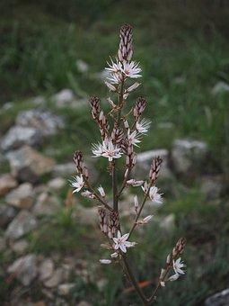 Fragrant Asphodel, Flower, Blossom, Bloom, White, Shrub