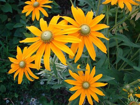 Rudbeckia Hirta, Flower, Bloom, Yellow, Nature, Blossom