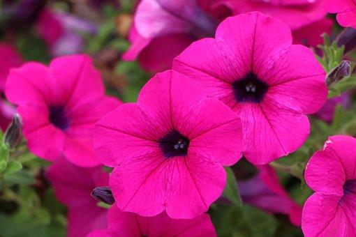 Petunia, Plants, Flowers, Nature, Tabitha, June