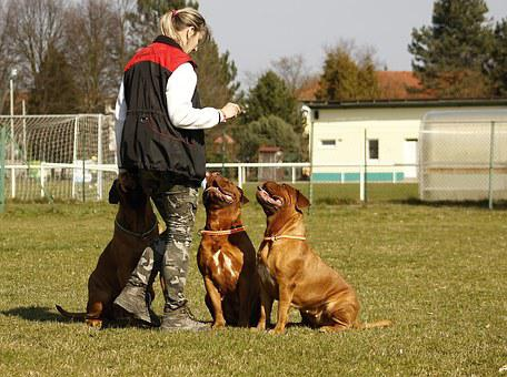 Bordeaux, Mastiff, Dog, De, Mastiffs, French, Pet