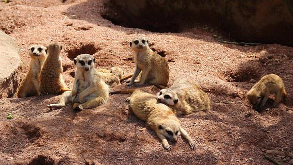 Meerkat, Family, Animals, Cute, Group Picture, Fur