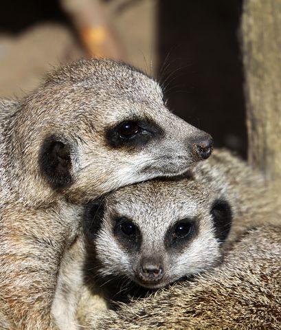 Meerkat, Stack, Family, Cute, Happy, Fur, Furry