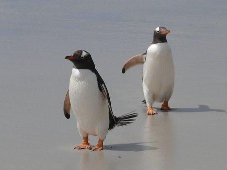 Gentoo Penguins, Penguins, Antarctica, Birds, Waterfowl