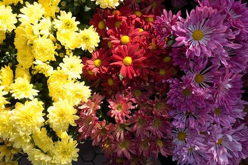 Aster, Genus, Composites, Asteraceae, Flora