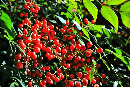 Holy Bamboo Berries, Berries, Holy Bamboo, Red, Round