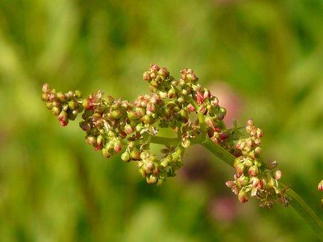 Meadows Sauerampfer, Plant, Inflorescence
