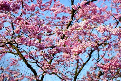 Cherry Blossom, Japanese Cherry, Smell, Blossom, Bloom