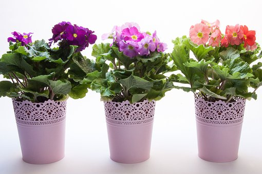 Primroses, Primula Vulgaris Hybrid, Violet, Magenta