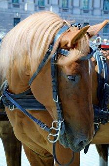 Horse, Animal, Domestic Solipeds, Mammal
