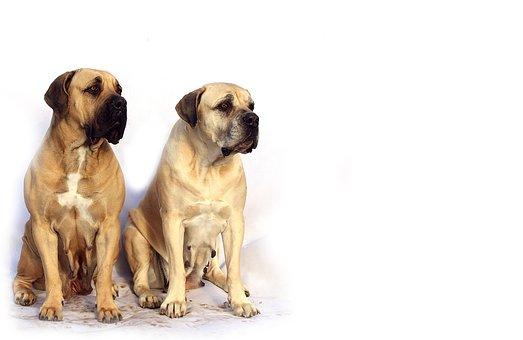 Bordeaux, Mastiff, Dog, Animal, White, De, Mastiffs