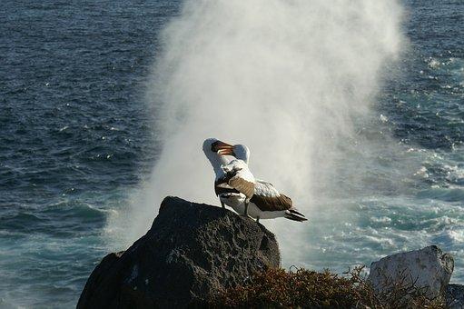 Albatrosses, More, Water, Rock, Bird, Galapagos