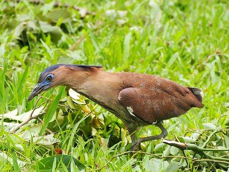 鷺, Niao, 覓 Food, Black-crowned
