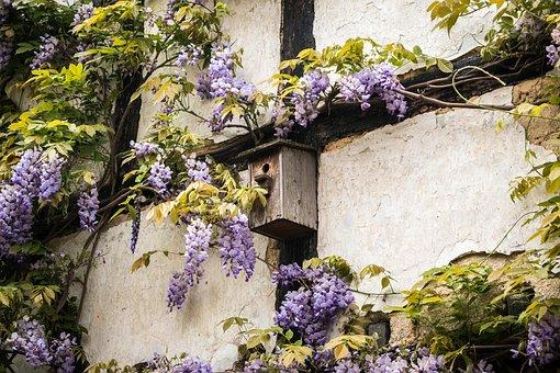 Aviary, Truss, Wisteria, Home, Wall, Fachwerkhaus, Old