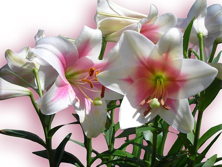 Lilies, Flowers, Pink, Spring, Bloom, Background