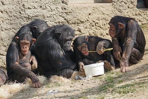 Chimps, Primates, Apes, Relax, Cozy, Creature, Relaxed