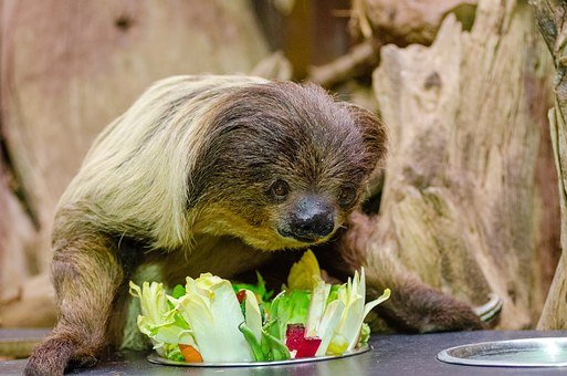 Lazy Unaus, Seated, Eating, Zoo, Choloepus, Plate