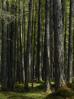Larch Forest, Forest, Larch, Tree Trunks, Strains