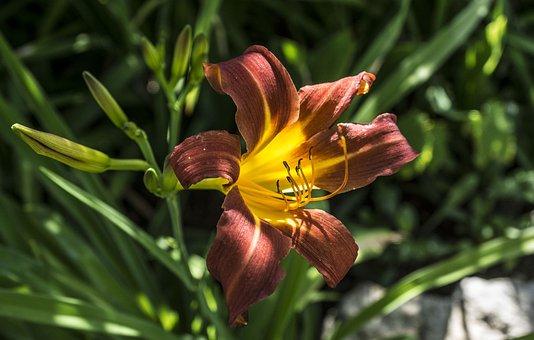 Flower, Lily, Blossom, Bloom, Blossomed, Plant, Summer