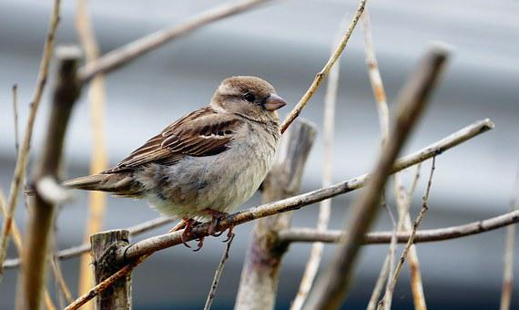 Bird, Sparrow, Beak, Branch, Tree, Brown, Feather