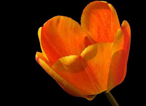 Tulip, Tulipa, Blossom, Bloom, Orange Red Flamed
