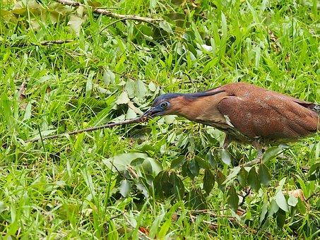 鷺, Black-crowned, 覓 Food, Worm