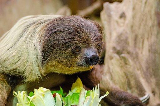 Lazy Unaus, Eating, Zoo, Choloepus, Mammal