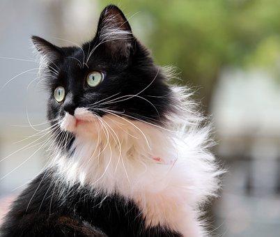 Tuxedo Cat, Kitten, Feline, Zorro, Animal, Cute, Pet