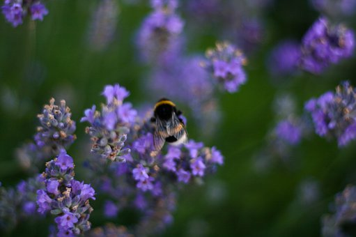 Bee, Lavender, Flower, Meadow, Insect, Garden, Nectar