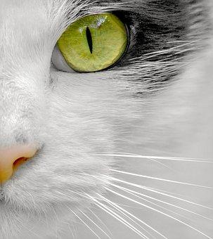 Cats, Felines, Pets, Face, Mammal, Portrait, Fur