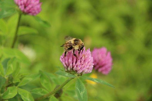 Clover, Bumblebee, Plant, Flower, Summer