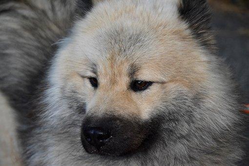 Dog, Dog Eurasier, Dog Breed, Eurasier, Male Dog