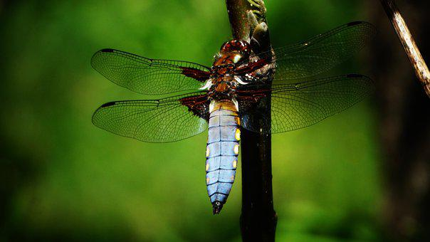 Dragonfly, Blue, Green, Insect
