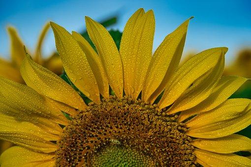 Sunflower, Morgentau, Morning Walk, Start Of The Day
