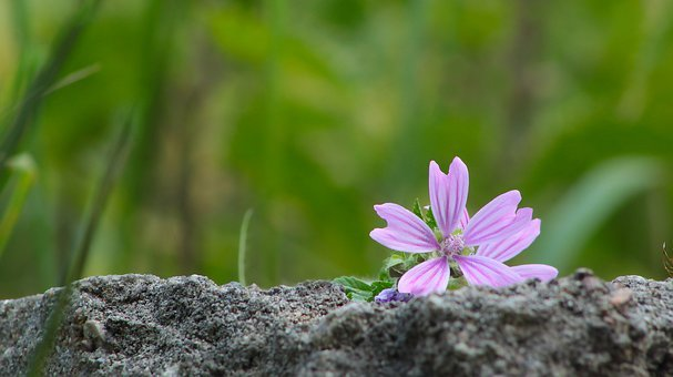 Nature, Plants, Flower, Violet, Malva