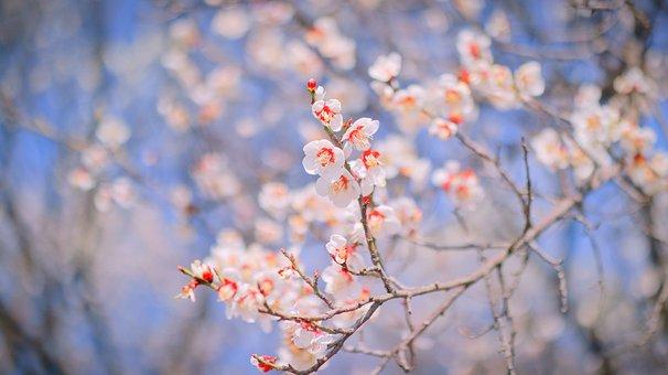 Flowers, Plum, Anton, Republic Of Korea, Korea, Andong
