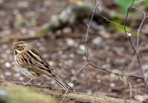 Female Reed Bunting, Reed Bunting