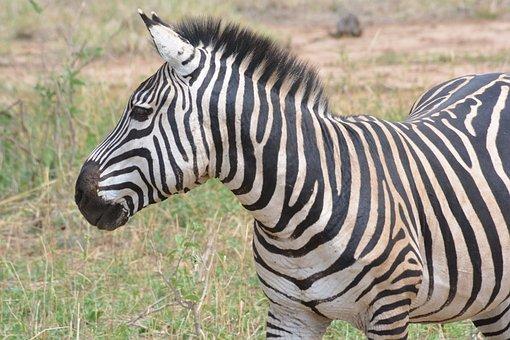 Zebra, Safari, Africa, Animal, Zebras, Savannah