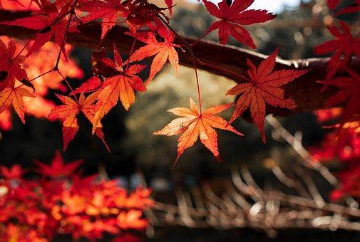 Leaf, Fall, Tree, Red, Autumn, Momiji