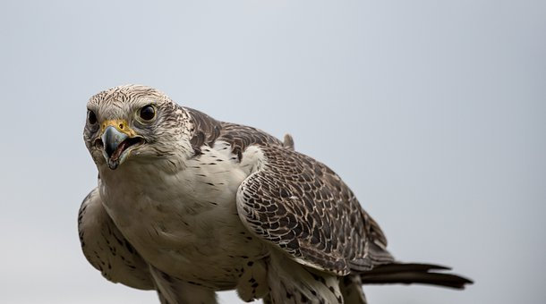 Falcon, Bird, Animal, Animal World, Bird Of Prey