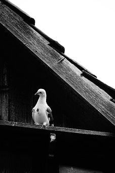 Dove, Old, House, Antique, Bird, Vintage, Pigeons