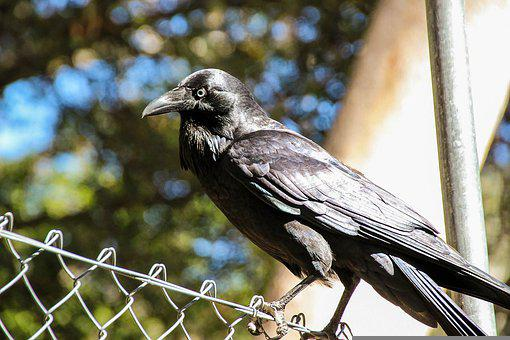 Crow, Bird, Animal, Black, Feather, Raven, Wildlife