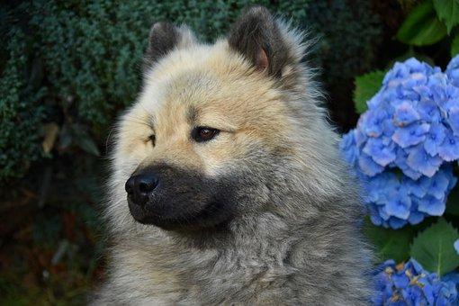 Dog, Dog Eurasier, Eurasier Olafblue
