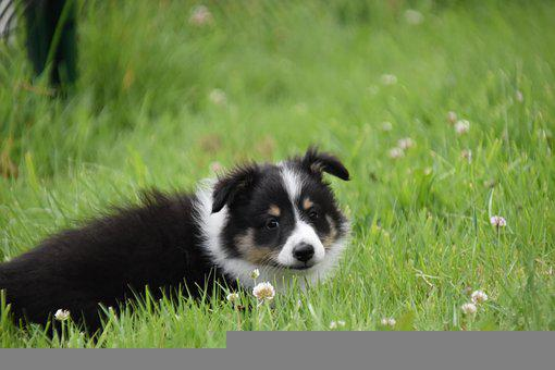 Dog, Puppy, Pup, Dog Berger Shetland, Dog Pure Breed