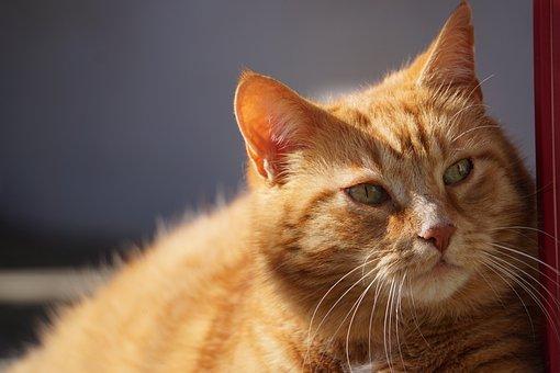 Cat, Red, Domestic Cat, Animal, Pet