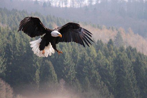 Eagle, Nature, Impressive, Bird, Feather, Adler
