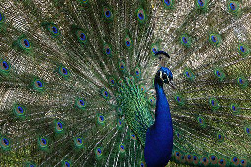 Peacock, Plumage, Colorful, Feather, Bird, Gorgeous