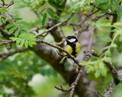 Great Tit, Bird, Tree, Leaf, Rowan