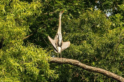 Heron, Great Blue Heron, Heron Spreads Wings