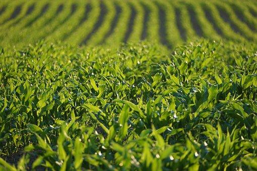 Corn, Grow, Agriculture, Plant, Arable, Landscape
